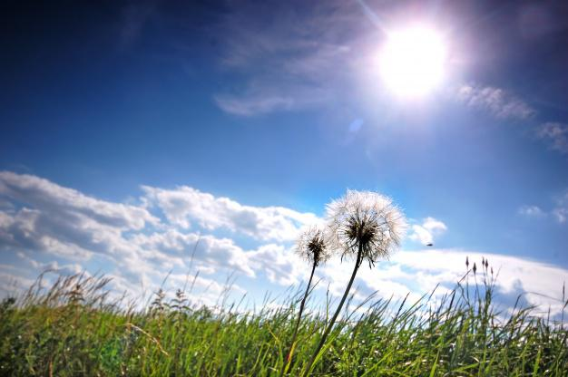 dandelions-in-the-meadow-on-a-sunny-day_1160-550